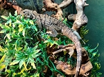 z (OUT OF STOCK) - CUBAN ROCK IGUANA  - babies, Cyclura nubila (WI sales ONLY)
