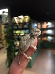 z OUT OF STOCK - WC HORNY TOAD LIZARD (Desert horned lizard) - Phrynosoma platyrhinos