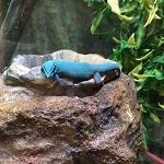 z OUT OF STOCK - ELECTRIC BLUE DAY GECKO - CB Lygodactylus williamsi