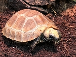 z OUT OF STOCK - ELONGATED TORTOISE - CB BABIES - Indotestudo elongata