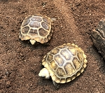 z OUT OF STOCK - ELONGATED x TRAVANCOR TORTOISE - CB BABIES - Indotestudo elongata