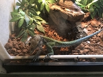 z OUT OF STOCK - EMERALD AMEIVA, WC Ameiva ameiva