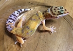 z OUT OF STOCK - LEOPARD GECKO - CB EMERINE RED STRIPE babies, Eublepharis macularius