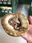 z OUT OF STOCK - ENCHI CINNAMON BUTTER BALL PYTHON - Python regius