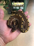 z OUT OF STOCK - STINGER BEE, ENCHI SPIDER BALL PYTHON - CB MALE #2, Python regius