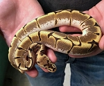 z OUT OF STOCK - ENCHI SPIDER BALL PYTHON - Python regius, CB FEMALE