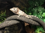 z OUT OF STOCK - CUBAN FALSE CHAMELEON - baby - Chamaeleolis barbatus