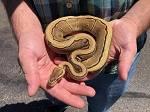 z(OUT OF STOCK) - FIRE GENETIC STRIPE PINSTRIPE BALL PYTHON  - CB 2019 MALE, Python regius