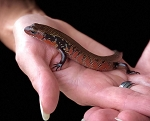 z (OUT OF STOCK) - TRUE FIRE SKINK - baby, Mochlus fernandi