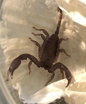 z OUT OF STOCK - Hadogenes paucidens - FLAT ROCK SCORPION, CB babies