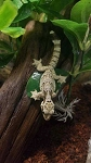 z OUT OF STOCK - FLYING GECKOs - Captive Bred , Ptychozoon kuhli