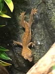 z OUT OF STOCK - CRESTED GECKO FROGBUTT, CB BABIES - Correlophus ciliatus, ASSORTED COLORS, (formerly Rhacodactylus)