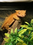 z OUT OF STOCK - CRESTED GECKO - Correlophus ciliatus, CB adult frogbutt, Male