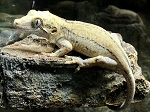 z OUT OF STOCK - GARGOYLE GECKO - MALE, Rhacodactylus auriculatus