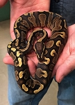 z(OUT OF STOCK) - GHI YELLOW BELLY BALL PYTHON - 2019 FEMALE, Python regius