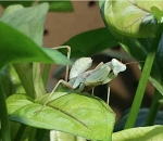 z OUT OF STOCK - GIANT AFRICAN LINED MANTIS - (Sphodromantis lineola) (picture showing an adult)