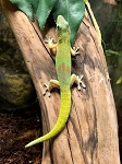 GOLD DUST DAY GECKO - CB, Phelsuma laticauda
