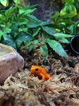 z OUT OF STOCK - GOLDEN MANTELLA, CB juvies - Mantella aurantiaca