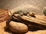z OUT OF STOCK - GREAT BASIN COLLARED LIZARD -  Crotaphytus bicinctores