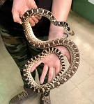 z OUT OF STOCK - GOPHER SNAKE, GREAT BASIN - CB 2017 FEMALE (T), Pituophis catenifer affinis