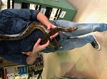 GREEN ANACONDA - Eunectes murinus, FEMALE, approx 6 feet