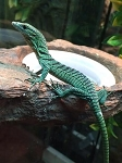 z OUT OF STOCK - GREEN TREE MONITORS - Varanus prasinus