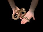 z (OUT OF STOCK) - MADAGASCAR SPECKLED HOGNOSE SNAKE, Leioheterodon geayi