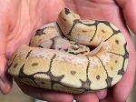 z OUT OF STOCK - HUMBLE BEE BALL PYTHON  - CB - Python regius