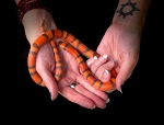 z OUT OF STOCK - HYPO HONDURAN MILK SNAKE - CB 2018 MALE, L. t. hondurensis
