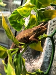 z OUT OF STOCK - JACKSON's CHAMELEON - CB - babies, Trioceros jacksonii