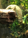 z OUT OF STOCK - JACKSON's CHAMELEON female - Trioceros jacksonii