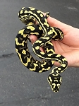 z OUT OF STOCK - JUNGLE CARPET PYTHON - MALE 2015, Morelia spilotes (Produced at Reptile Rapture) (T)