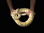 z (OUT OF STOCK) - KILLER BEE BALL PYTHON - CB FEMALE, Python regius, 1630 grams (produced by Reptile Rapture)