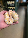 z OUT OF STOCK - LAVENDER ALBINO BALL PYTHON - CB MALE, Python regius