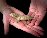 z OUT OF STOCK - LEACHIANUS gecko - CB baby, 12 grams