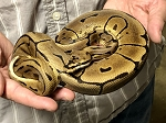 z(OUT OF STOCK) - LEOPARD ENCHI SPIDER BALL PYTHON - Python regius, CB 2020 MALE