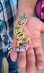 z OUT OF STOCK - LEOPARD GECKO - BOLD, CB (Eublepharis macularius)