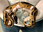 z OUT OF STOCK - LEOPARD PIED BALL PYTHON - CB 2019 Low white FEMALE, Python regius