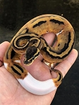 z (OUT OF STOCK) LEOPARD PIED BALL PYTHON - CB
