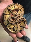 z OUT OF STOCK - LEOPARD SPIDER BALL PYTHON - Python regius, CB
