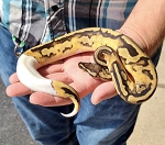 z (OUT OF STOCK) - LEOPARD PIED BALL PYTHON - CB 2019 low white FEMALE, Python regius