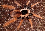 z OUT OF STOCK - Megaphobema robustum - COLUMBIAN GIANT RED LEG