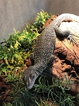 z OUT OF STOCK - FR MANGROVE monitor - juvie, Varanus indicus