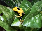 z OUT OF STOCK - MATECHO DART FROGs, CB - Dendrobates tinctorius
