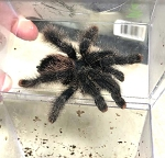 z (OUT OF STOCK) - Avicularia metallica - METALLIC PINK TOE TARANTULA approx. 4