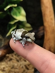 z (OUT OF STOCK) - AMAZON MILK FROGS - Trachycephalus resinifictrix
