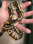 z OUT OF STOCK - MOCHI (mojave enchi) BALL PYTHON - Python regius