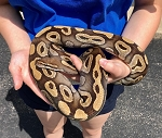 z OUT OF STOCK - MOJAVE BALL PYTHON  - CB adult FEMALE