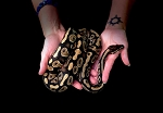 z OUT OF STOCK - MYSTIC YELLOW BELLY BALL PYTHON, 2017 FEMALE - Python regius