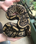 MYSTIC YELLOW BELLY BALL PYTHON, 2017